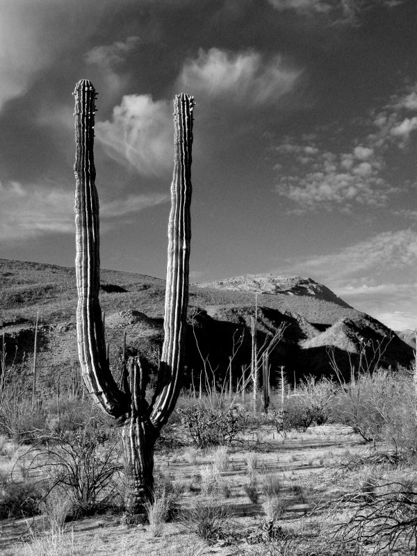 Strong Armed Cactus Landscape