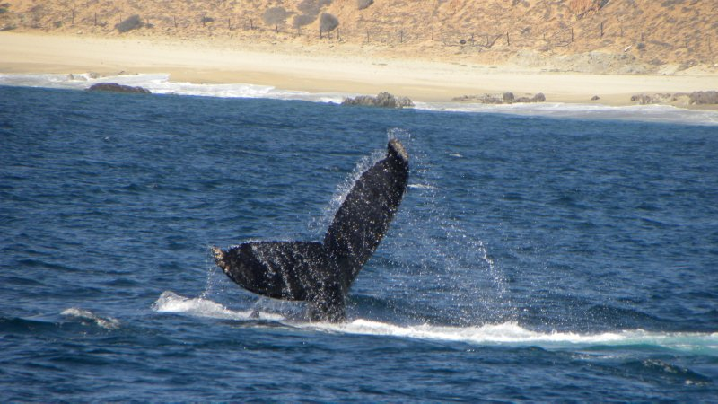 Humpback Fluke