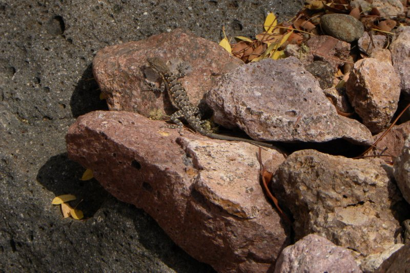 Lizard on Rock