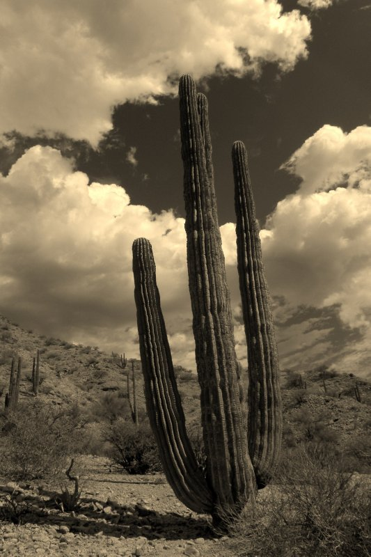Cardon Cactus and Cloud
