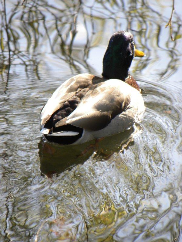 Mallard duck on the Placid Water