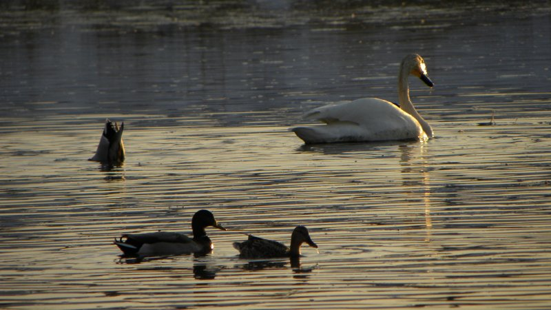 Mallard Ducks and Trumpeter Swans