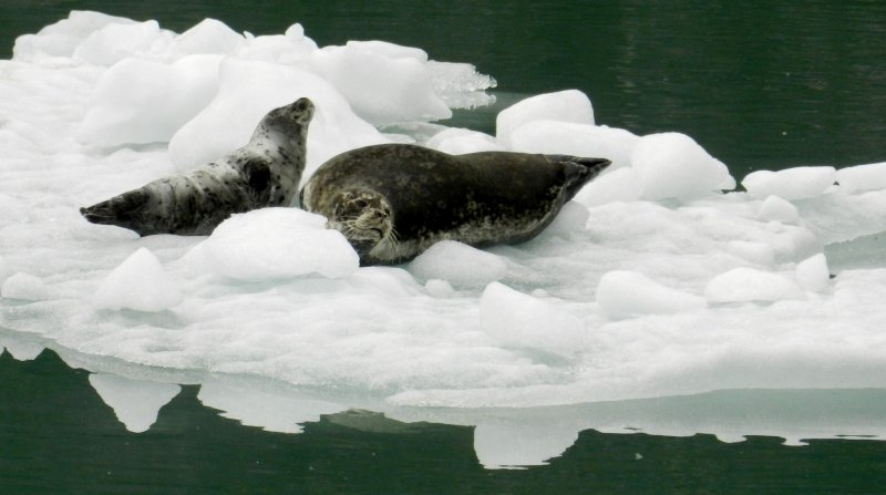 Harbor Seals Lounging