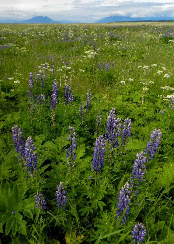 Lupine Meadows