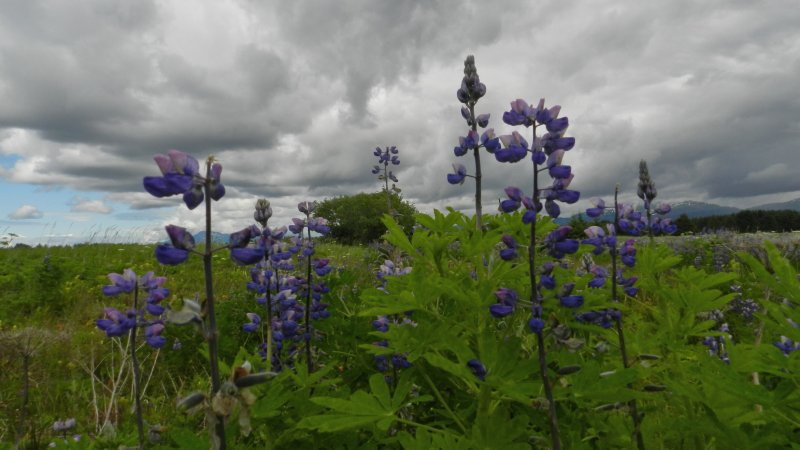 Lupines under heavy clouds
