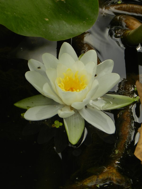 Water Lily In Repose