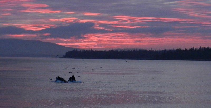 Bubble Netting Whales in the Sunset