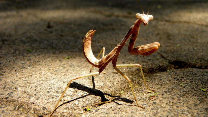 Praying Mantis on the Sidewalk