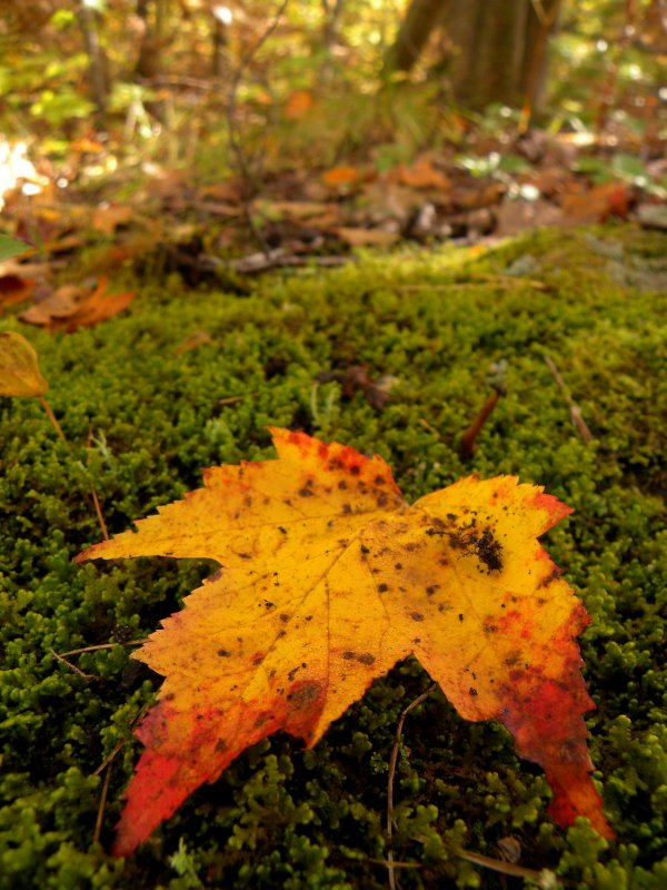 Maple Leaf on Moss