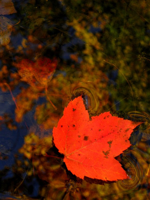 Red Maple leaf and reflection