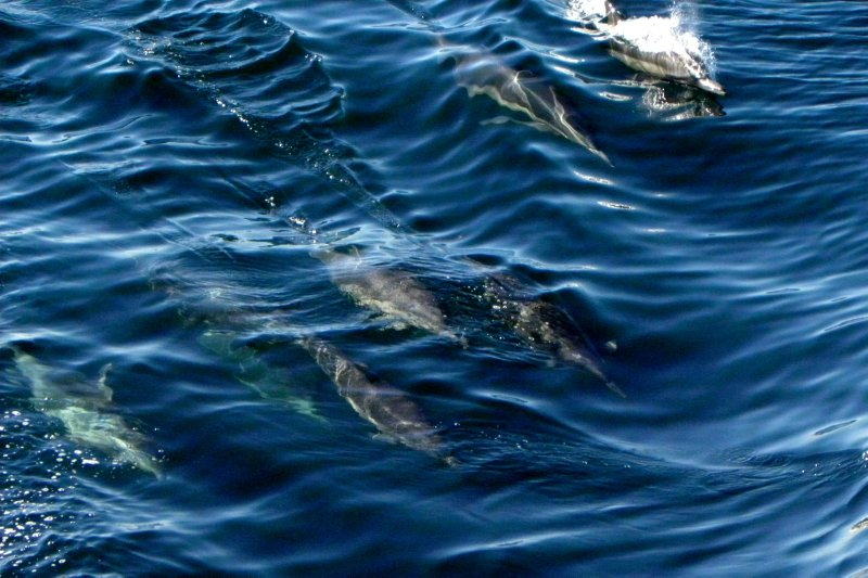 Dolphins Skimming the Surface