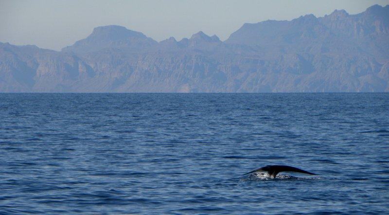 Blue Whale Fluke