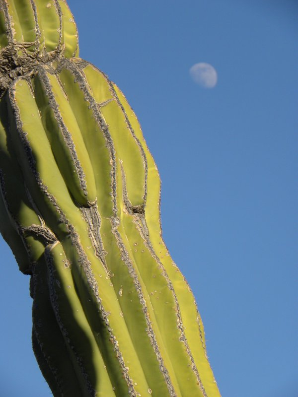 Cardon Cactus and Moon Detail