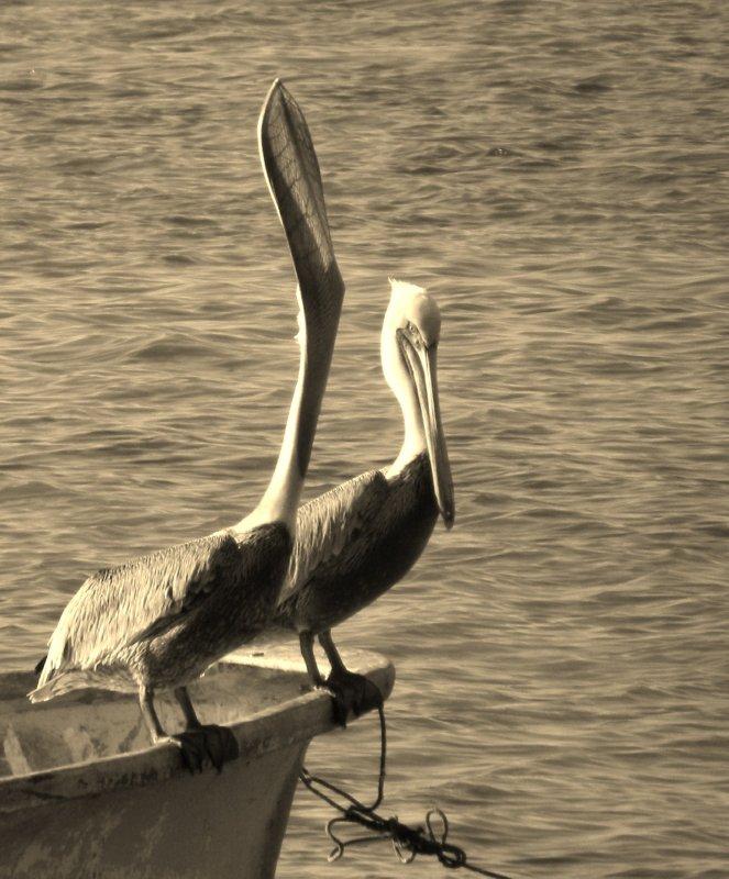 Pelican Gullet Detail