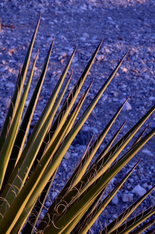 Yucca Spines