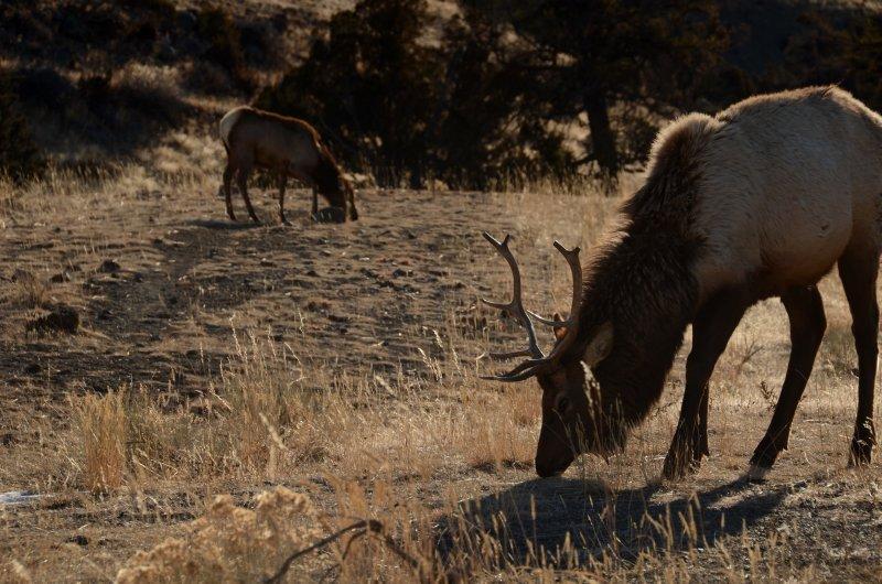 Foraging Elk