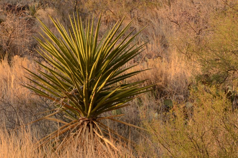 Yucca in Evening Light