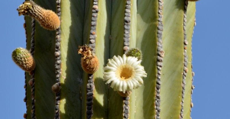 Cardon Bloom