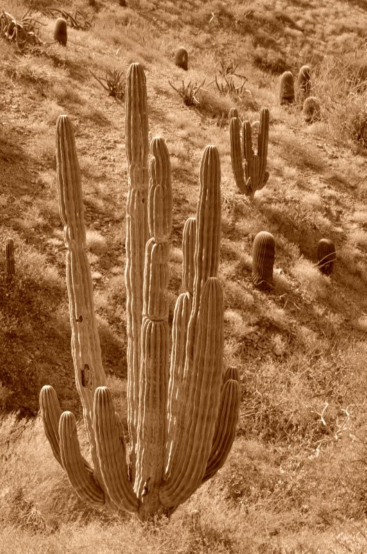Cardon Cactus Clump