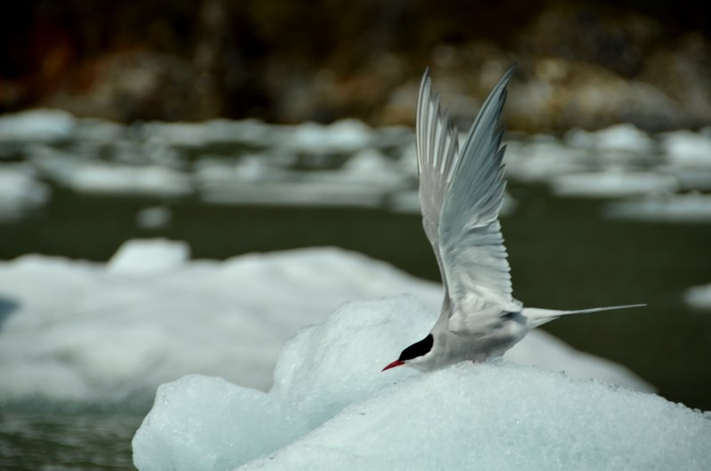 Arctic Tern Takes Flight