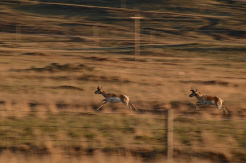 An Antelope High Speed Chase