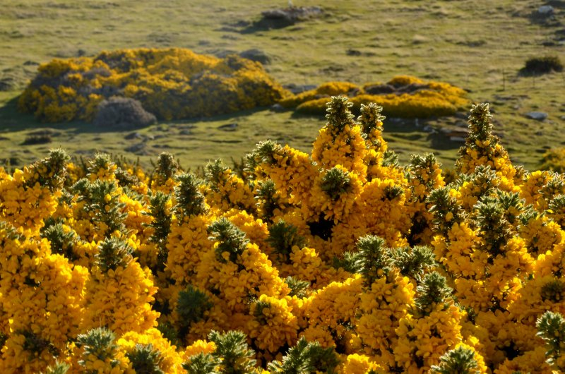 Gorse Detail