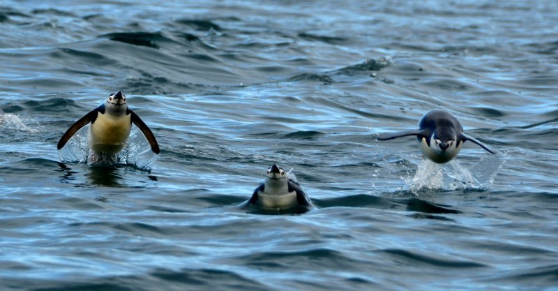 Chinstrap Penguins Take Flight