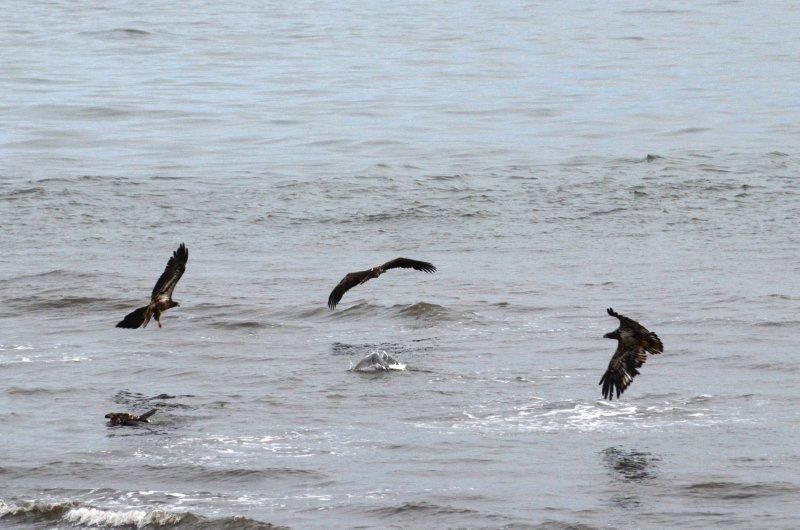 Eagle and Gull 11