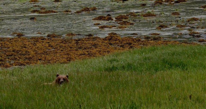 A Watchful Brown Bear