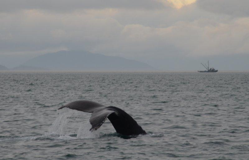 A Humpback Dive