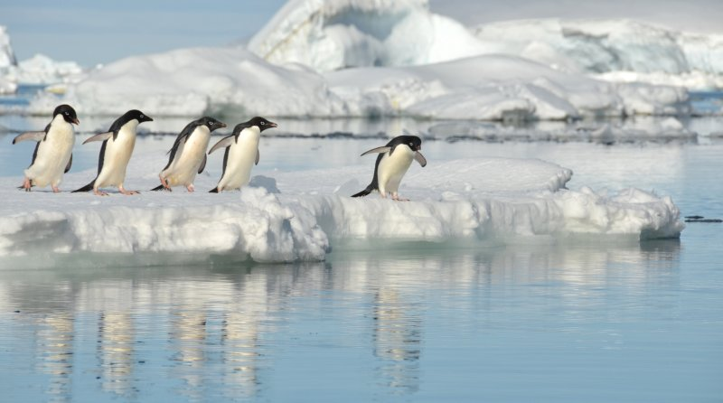 Adelie Penguins on Ice