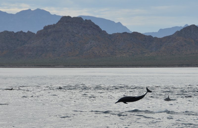 Airborne Dolphin