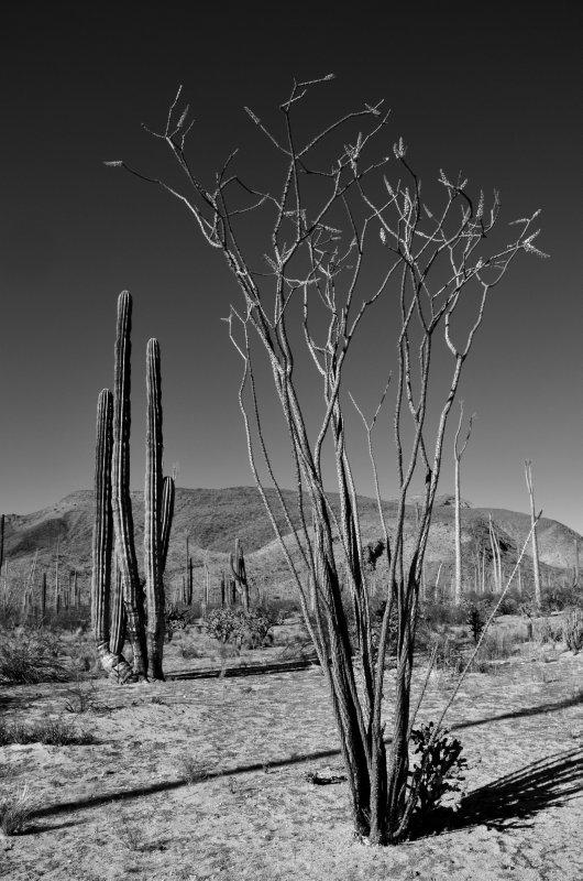 Standing Tall - Ocotilla and Cardon Cactus