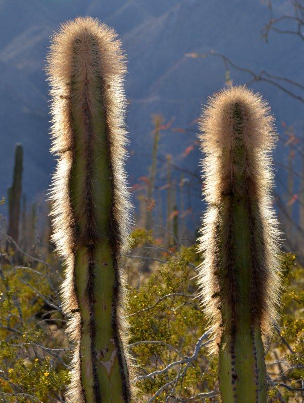 Thom Cactus