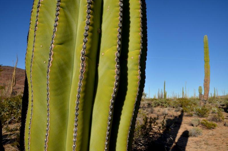 Cardon and Desert Scene