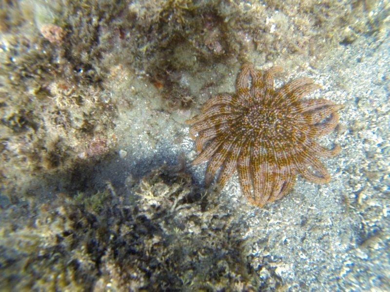 California Sea Star
