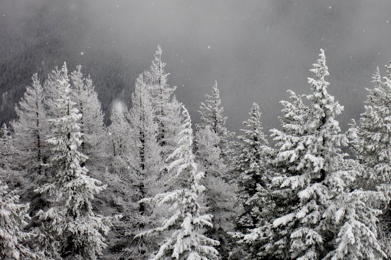Snow Falling Softly on Pine Trees