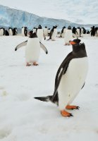 Curious Gentoo Penguins