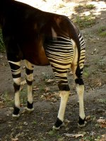 Okapi Leg Detail