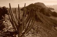 Organ Pipe Cactus on Danzante