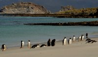 Gentoo Penguins On The Beach