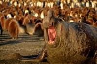 Bull Elephant Seal Bellowing
