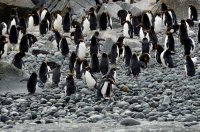 Macaroni Penguins on the Beach