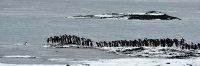 Penguin Mob