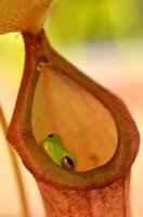 Pitcher Plant Frog