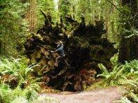Redwood Root Jungle Gym