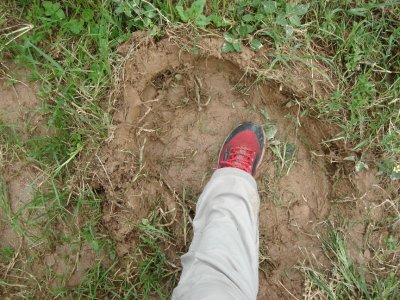 Fresh elephant footprint