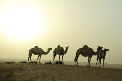 Dromedarios en el desierto