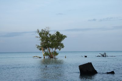 sea tree