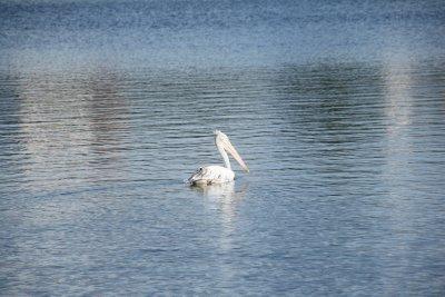 pippi pelican